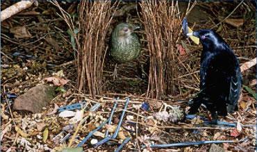 Bowerbird decorates nest