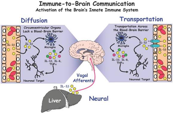 Cartoon immune-to-brain connection