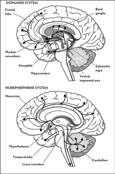 cartoon brain, sliced and labeled