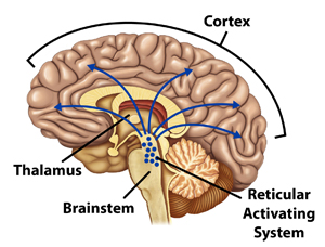 cartoon showing reticular activating system