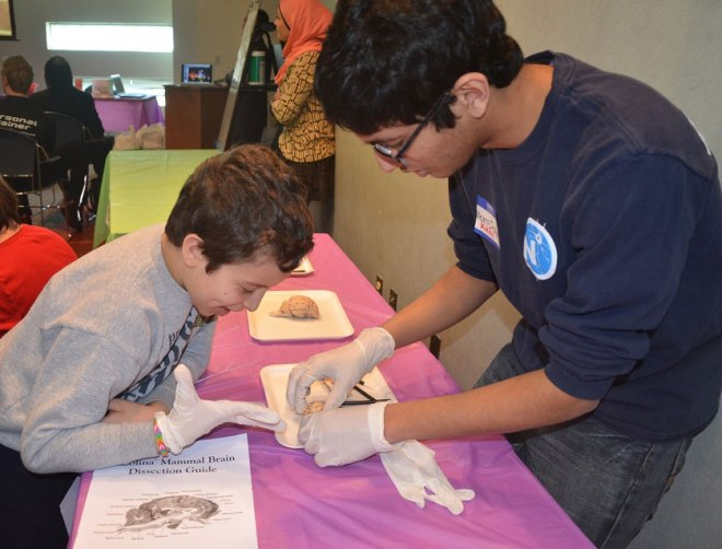 Brain dissection display at Brain Awareness Day. Photo courtesy of Ashburn Library