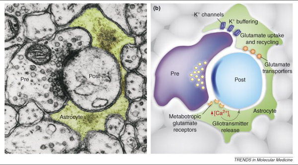 Cerebrum - 0716 - The Evolving View of Astrocytes - figure1