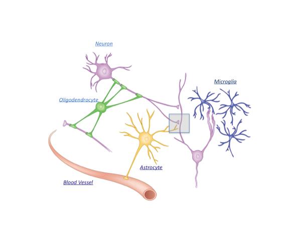 Cerebrum - 1016 - The Evolving View of Astrocytes - figure1