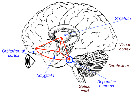 cartoon of reward areas of brain