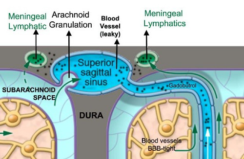 cartoon of glyphatic system