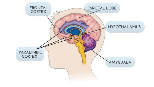 basic-brain-parts-cartoon