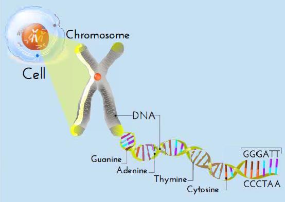 chromasome-bases-cartoon