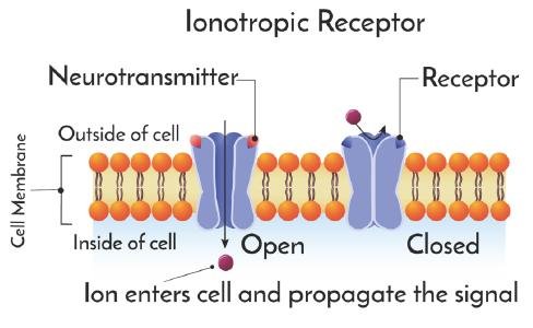 inonotropic-receptor-cartoon