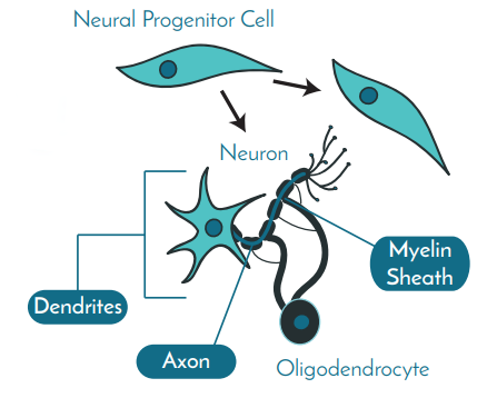 progenitor-to-neuron-cartoon
