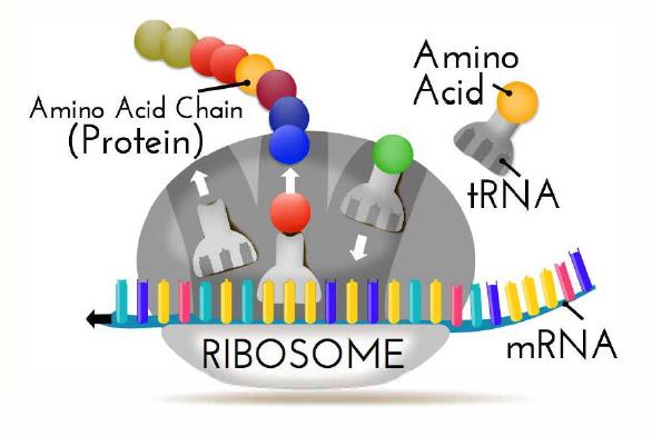 robosome-rna-cartoon