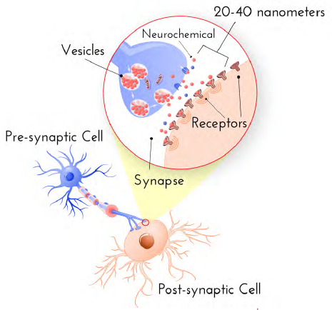 synaptic-transmission-cartoon