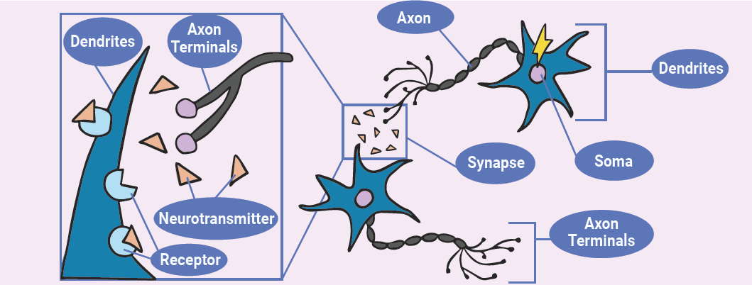 cartoon of neurons with parts labeled
