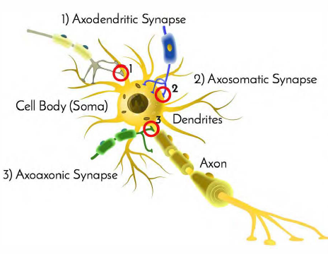 types-of-synapses-cartoon