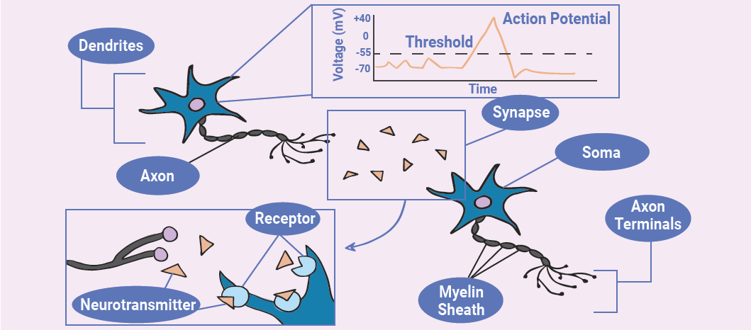 cartoon showing progress of an action potential