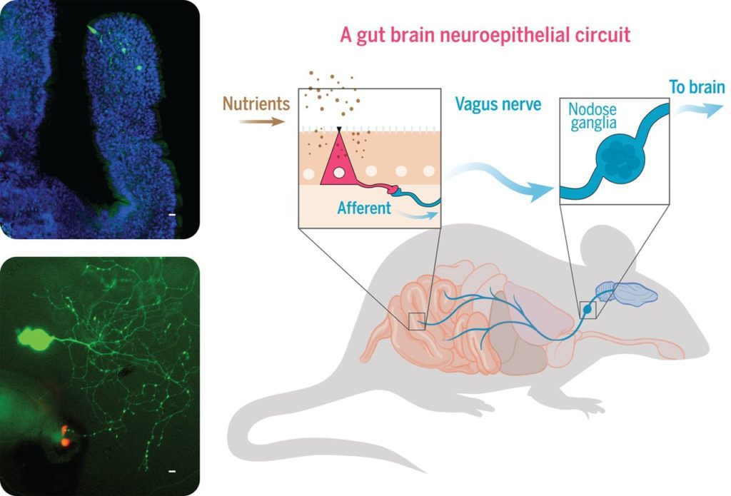 cartoon of gut-brain interaction in a mouse